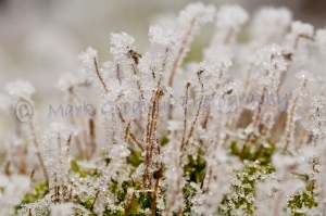 Early morning hoar-frost on moss