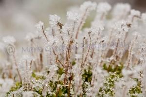 Early morning hoar-frost on moss