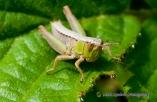 Grasshopper Larvae