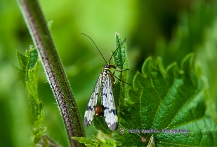 Scorpion Fly - Parnorpa communis