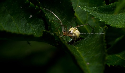 Small Orb Spider